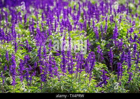 Bright purple flowers like lavender in a street flowerbed on a summer sunny day. Natural picturesque colorful background - Stock Photo