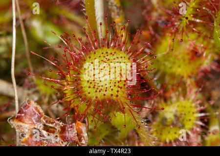 Common sundew Stock Photo