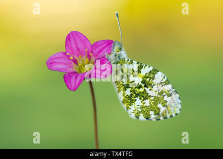 Scotland, Orange Tip butterfly, female, Anthocharis cardamines, sitting on flower - Stock Photo