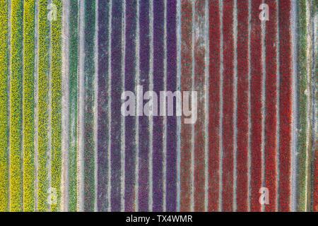 Germany, Saxony-Anhalt, aerial view of tulip fields - Stock Photo