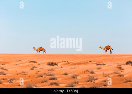 Dromedaries in Wahiba sands desert, Oman - Stock Photo