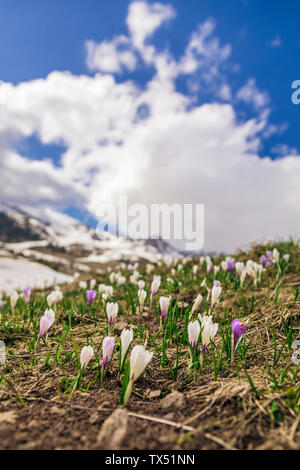 Italy, Trentino Alto-Adige, San Pellegrino, field with wild purple and white crocus flowers and melting snow - Stock Photo