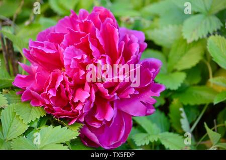 beautiful pink peony blossom