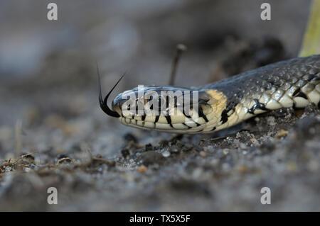 Grass snake lying on a stone - Stock Photo