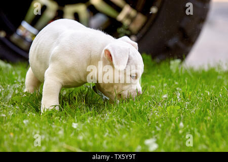 Cute puppy playing on the grass on the background of the car. Concept of the first steps of life, animals, a new generation. Puppy American Bull. - Stock Photo