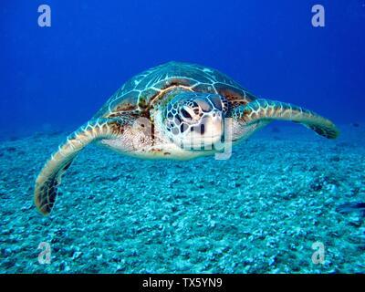 Turtle, Testudines - Stock Photo