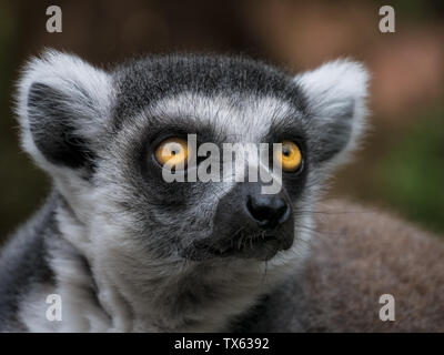 Face close-up of the ring-tailed lemur - Stock Photo