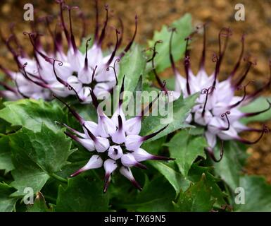 The Tufted Horned Rampion in flower. - Stock Photo