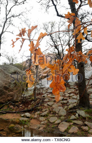 Rain falling on leaves. Rain falling on oak leaves at Enchanted Rock in the Texas Hill Country. Brown Leaves. Last years autumn leaves. Rainy Day USA - Stock Photo