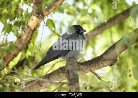 Young Western jackdaw (Corvus monedula) sitting on a branch of a European nettle tree (Celtis australis) and looking curiously to the camera - Stock Photo