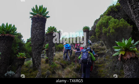 Mount Kilimanjaro / Tanzania: 4 January 2016: embers of group expedition to Mount Kilimanjaro hike through the high alpine forest on the Umbwe Route t - Stock Photo