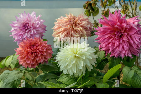 Pink White and red Guldavari Flower plant, a herbaceous perennial sun loving plant Blooms in early spring to late summer. A very popular flower for ga - Stock Photo