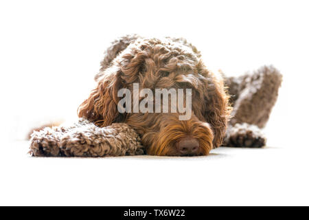 A 4 year old brown male labradoodle lying on the floor. - Stock Photo