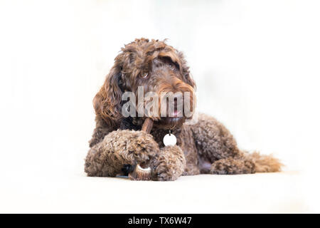 A 4 year old brown male labradoodle chewing on an antler. - Stock Photo