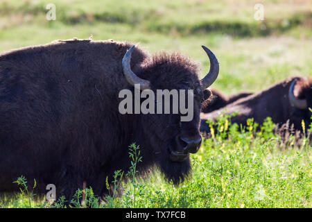 An American bison chews on wildflowers in the afternoon sunshine at Custer State Park, South Dakota. - Stock Photo