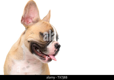 portrait of cute french bulldog isolated on white background, pet and animal concept - Stock Photo
