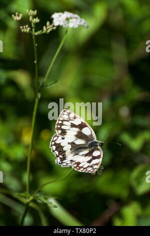 Marbled white butterfly, wings open, resting on white wild flower with blurred green background - Stock Photo