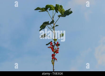 The redcurrant, or red currant (Ribes rubrum) is a member of the genus Ribes in the gooseberry family. Redcurrant branch against the blue sky. - Stock Photo
