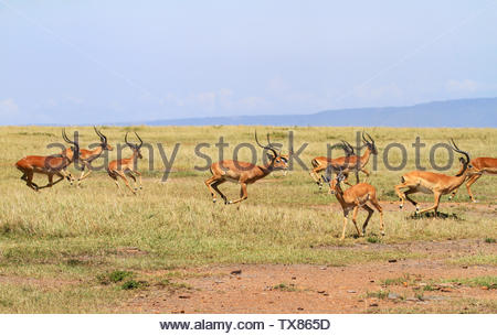 Herd impalas Aepyceros melampus racing running grass plains.  Masai Mara National Reserve, Kenya, Africa. Action with blue sky and distant hills - Stock Photo
