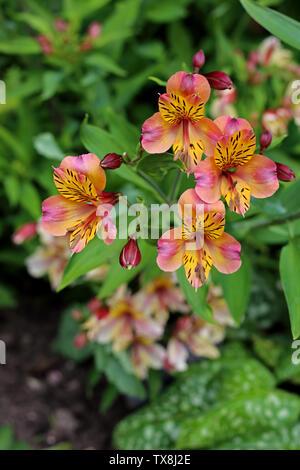 Peruvian Lily (Alstroemeria ' Flaming Star' / Alstroemeriaceae) grow in an Oxfordshire, UK,  garden. - Stock Photo