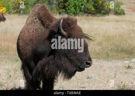 American bison (Bison bison) in Custer State Park, Black Hills, South Dakota, USA - Stock Photo