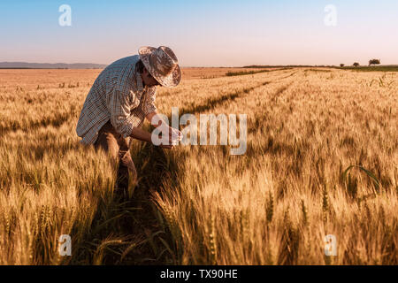 Agronomist farmer is inspecting ripening ears of wheat in field in warm summer sunset. Farm worker analyzing development of cereal crops.