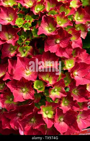 Closeup of the vibrant flowers of Hydrangea Red Mop. - Stock Photo