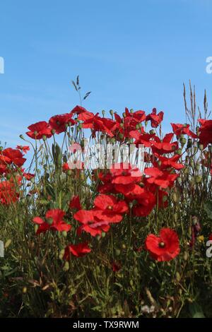 Red poppies taken against blue sky close up on summers morning In Britain - Stock Photo