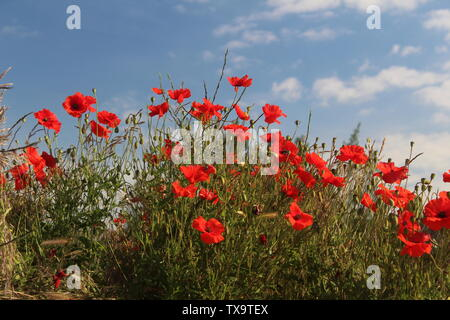 Red poppies taken against blue sky close up on summers morning In Britain UK - Stock Photo