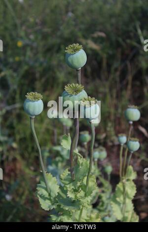 Poppy seed head close up on summers morning In Britain UK - Stock Photo