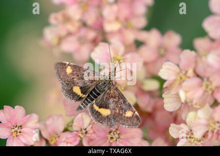 Mint Moth (Pyrausta aurata) on Achillea millefollium 'Peachy Seduction' - Stock Photo