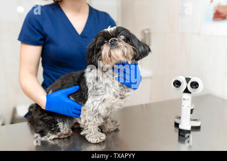 Veterinary ophthalmologist woman makes a medical procedure, examines the eyes of a dog with an injured eye. A veterinarian makes biomicroscopy using a - Stock Photo