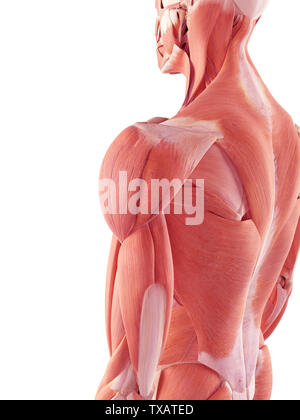 3d rendered medically accurate illustration of the human muscles - Stock Photo