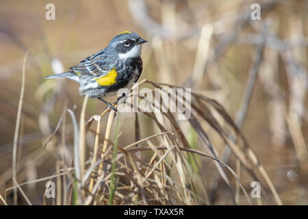 Male yellow-rumped warbler in northern Wisconsin. - Stock Photo