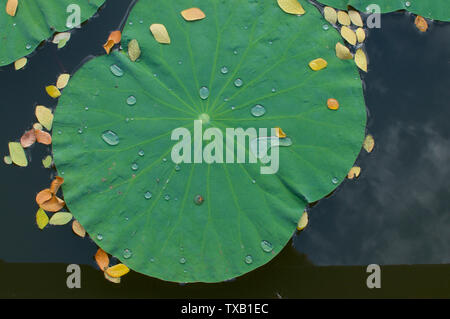 Close up picture of a beautiful lotus leaf with some drops of water, located in a pond in Ubud, Bali - Indonesia - Stock Photo
