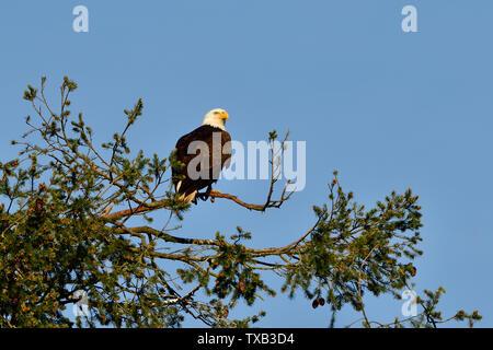 A mature bald eagle ' Haliaeetus leucocephalus'; perched on the top of a spruce tree on the coast of Vancouver Island British Columbia Canada. - Stock Photo