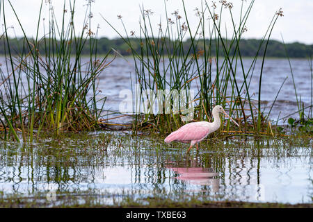 Roseate Spoonbill (Platalea ajaja) wading in a Florida marsh while foraging for food. - Stock Photo