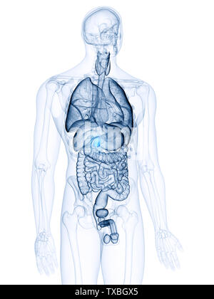 3d rendered, medically accurate illustration of the gallbladder - Stock Photo