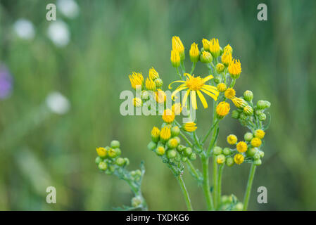 Jacobaea vulgaris,  Senecio jacobaea yellow flowers closeup - Stock Photo