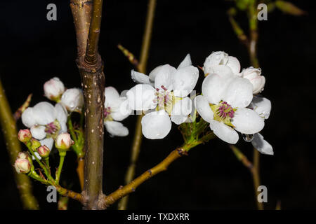 Close-up of pear flowers after rain - Stock Photo