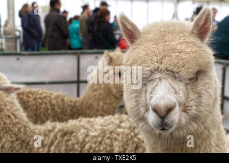 Huacaya alpaca - Stock Photo