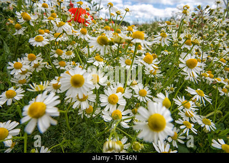 A field of Poppies and Daisies in Bingham, Nottinghamshire England UK - Stock Photo