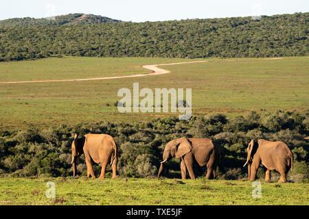 African elephants, Loxodonta africana africana, Addo Elephant National Park, South Africa - Stock Photo