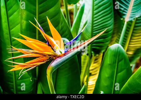 Singapore - May 15, 2019: Bird of paradise flower. Strelitzia is a genus of five species of perennial plants, native to South Africa. Flower Dome. - Stock Photo
