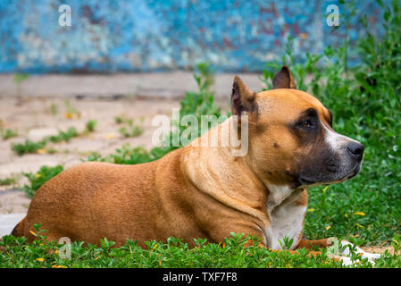 Closeup portrait of staffordshire terrier. American staffordshire in garden or park. - Stock Photo