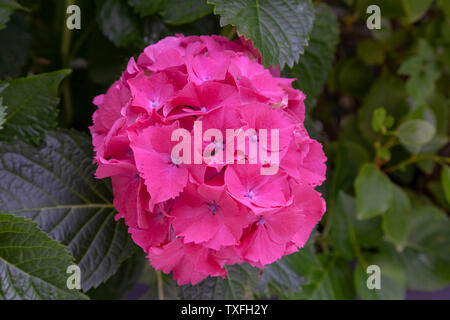 A dark pink flower of the hydrangea macrophylla known as 'Sibylla'. This  compact shrub is hardy and floriferous. Fleur rose foncé d 'hortensia. - Stock Photo