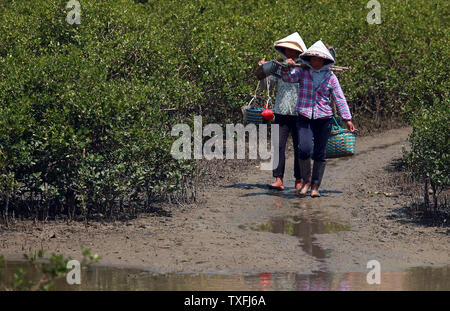 Chinese-Vietnamese women walk through a mangrove estuary on their way to look for sand worms in Beihai, a coastal city in southern Guangxi Province, China on August 29, 2014.  The sand worms are an expensive local delicacy, whose harvesting helps support a large traditional fishing population.       UPI/Stephen Shaver - Stock Photo