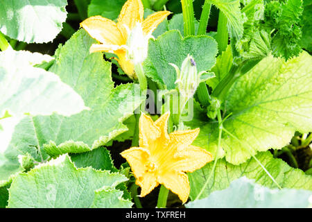 Zucchini plant with yellow flowers growing on the ground. Pumpkin flower - Stock Photo