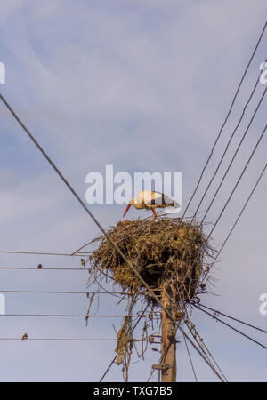 A Stork(Ciconiidae) is building his nest high on electric polls.Lose of habitat has forced these beautiful birds to use other places for nests. - Stock Photo