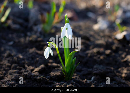 Snowdrop or common snowdrop Galanthus nivalis flowers. - Stock Photo